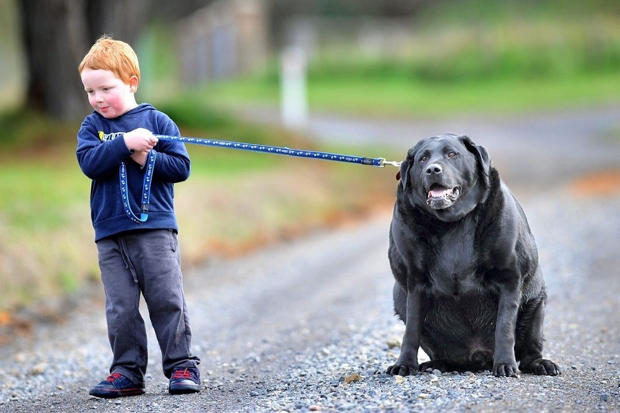 Boy Holding Fat Black Dog on Leash