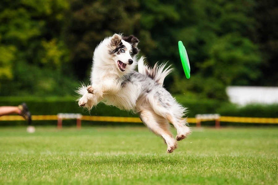 Border Collie Catching Green Flying Disk
