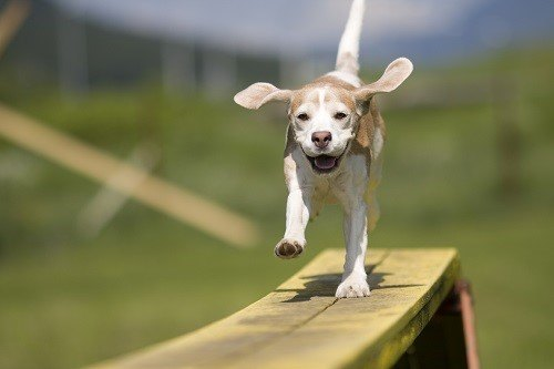 Beagle Running on Bench