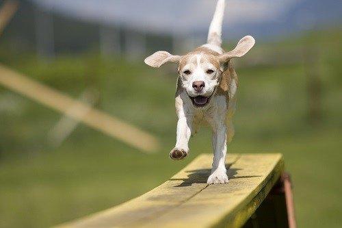 Beagle Running on Bench