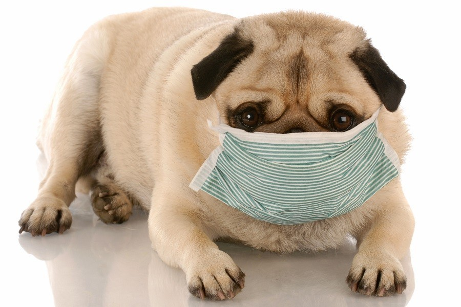Pug Wearing Hygiene Mask on Muzzle