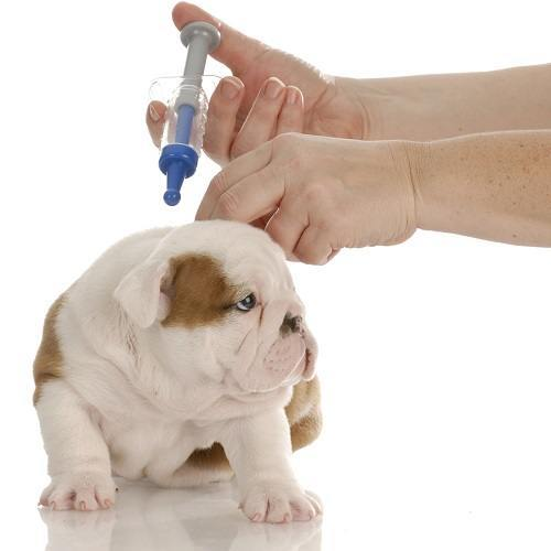 English Bulldog Puppy Getting Vaccinated