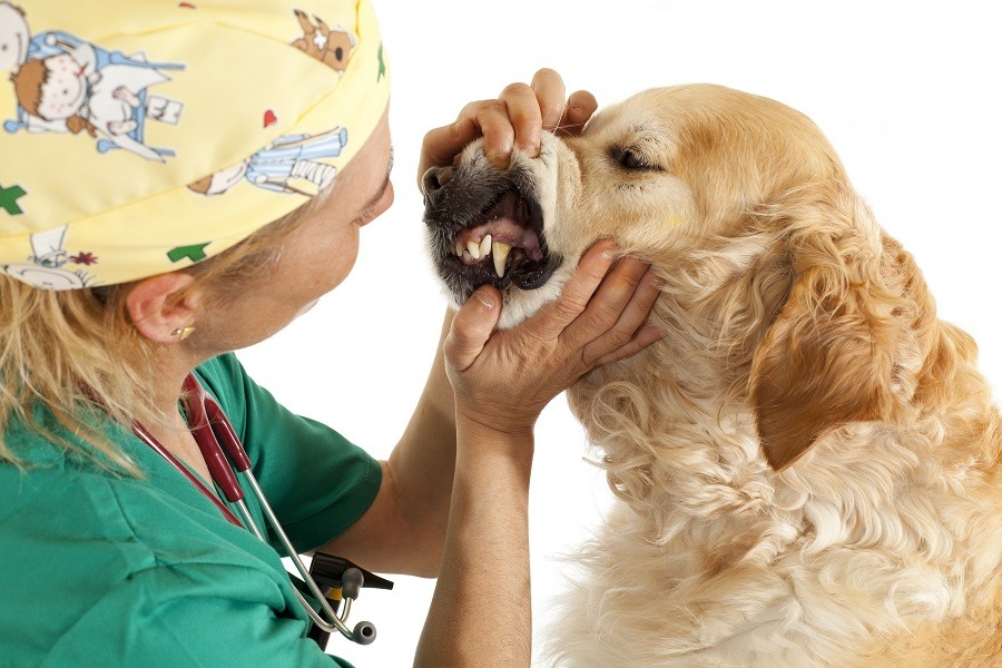Vetenarian Checking Dog Teeth