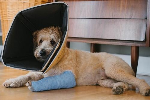 Dog with Bandaged Broken Leg Lying on Floor