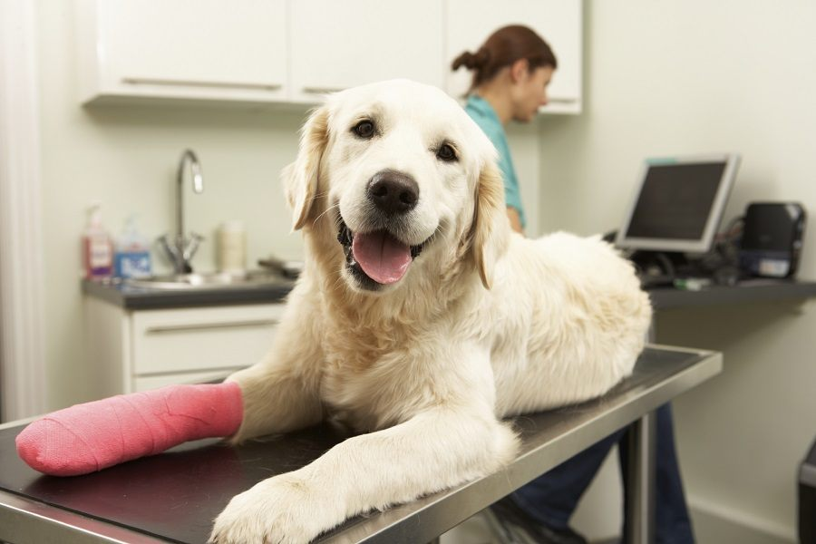 Dog Lying on Vetenarian Table with Injured Leg