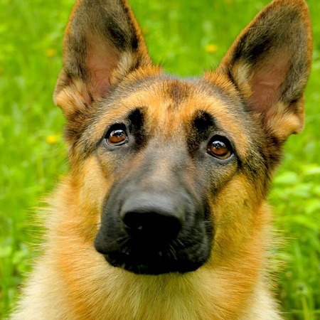 Confused German Shepherd