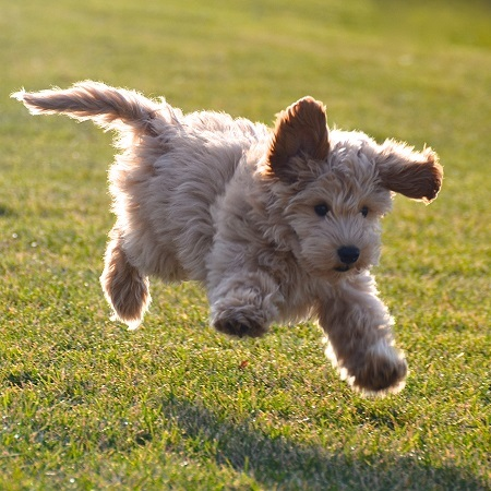 Labradoodle Puppy Jumping