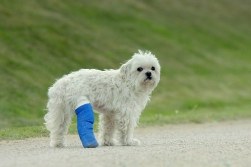 Limping Dog Standing with Bandaged Leg