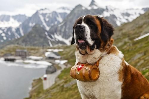 Saint Bernard Dog with Small Barrel on Neck