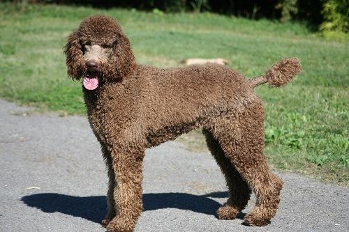 Brown Standard Poodle