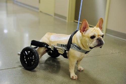 Dog Using Wheels on Back Legs