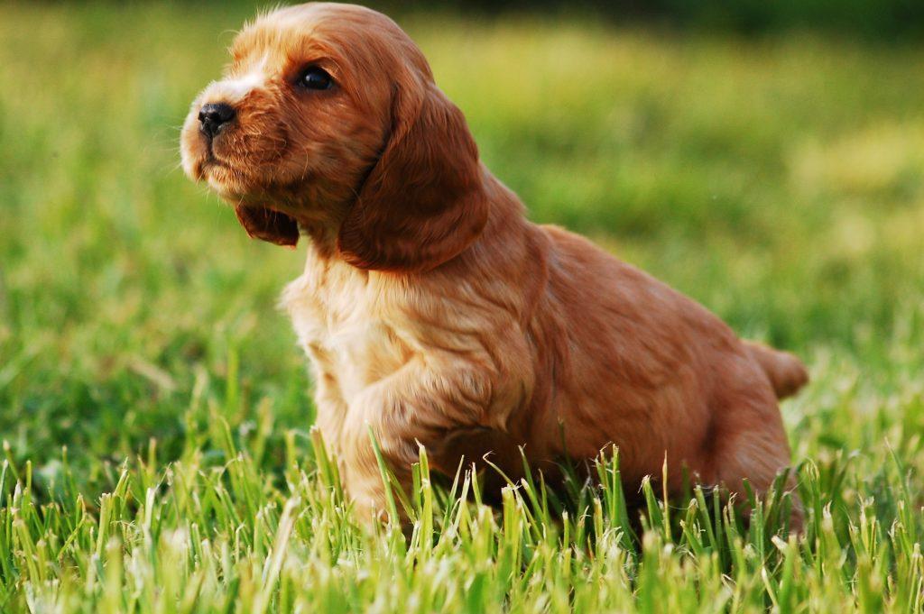 puppy-2414187