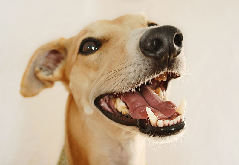 Whippet_teeth